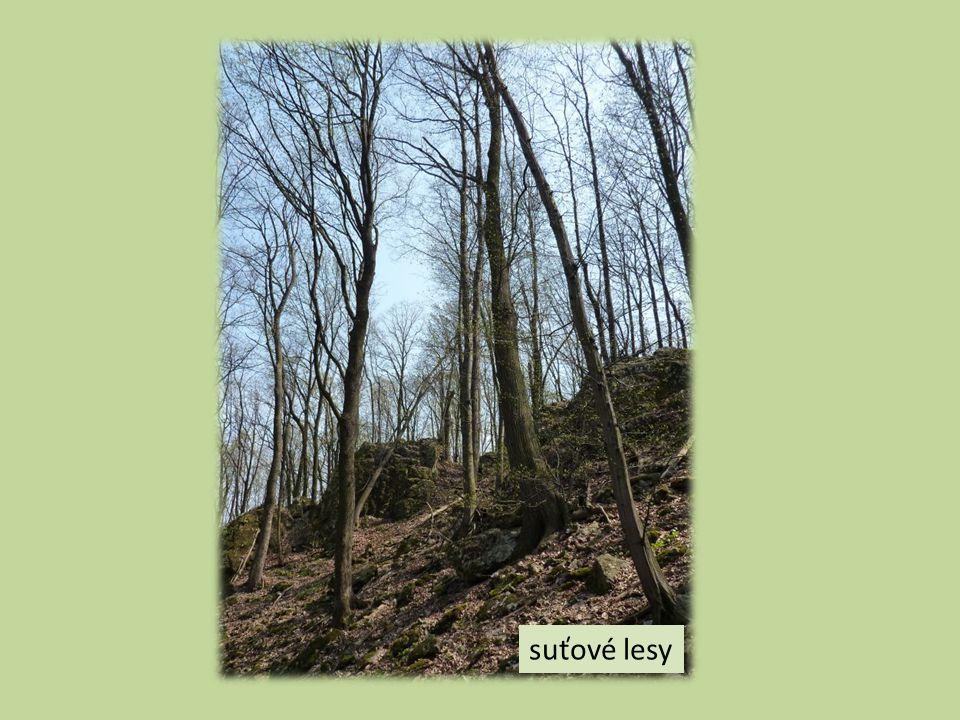 suťové lesy
