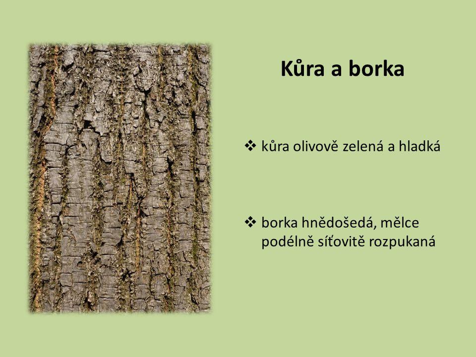 Kůra a borka  kůra olivově zelená a hladká  borka hnědošedá, mělce podélně síťovitě rozpukaná