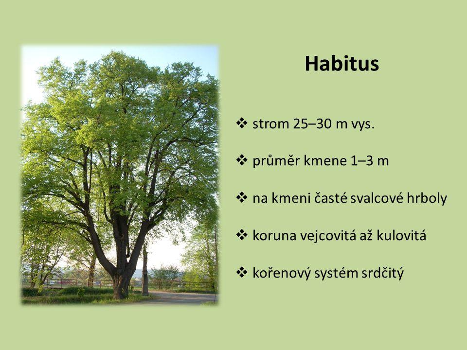 Habitus  strom 25–30 m vys.  průměr kmene 1–3 m  na kmeni časté svalcové hrboly  koruna vejcovitá až kulovitá  kořenový systém srdčitý