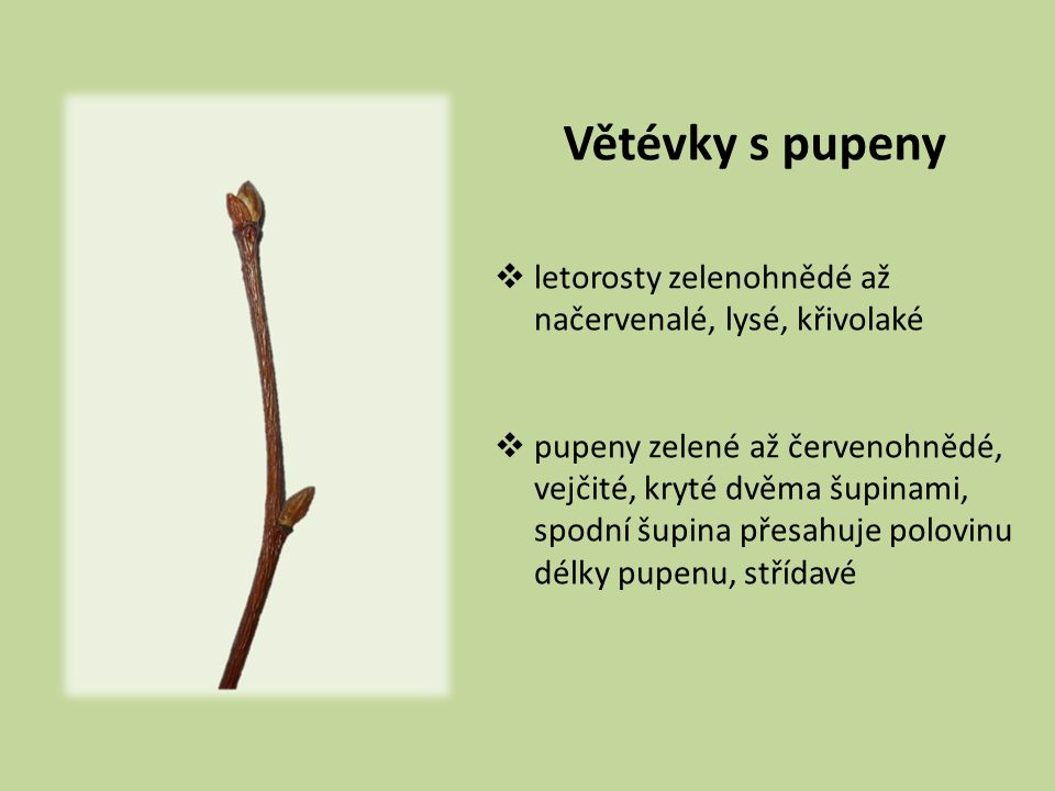 Listy  4–8 cm dl.
