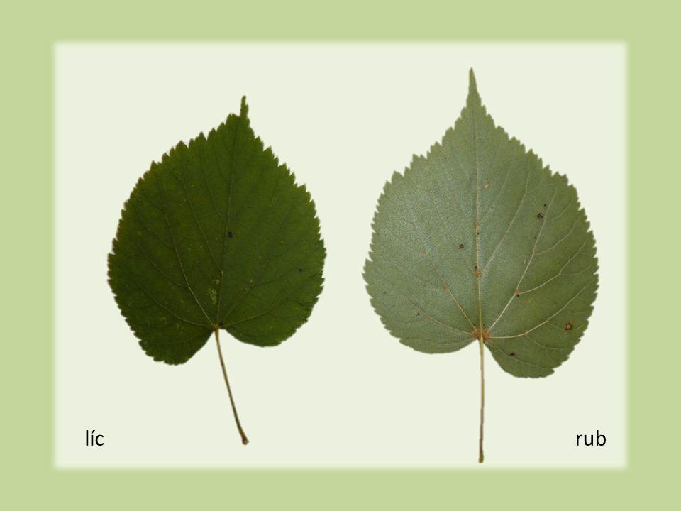 Plody  0,5 cm dl.