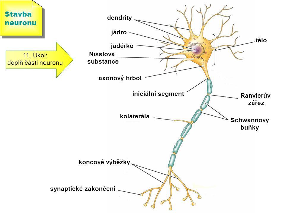 Stavba neuronu Stavba neuronu 11. Úkol: doplň části neuronu tělo jadérko jádro dendrity axonový hrbol iniciální segment Schwannovy buňky Ranvierův zář