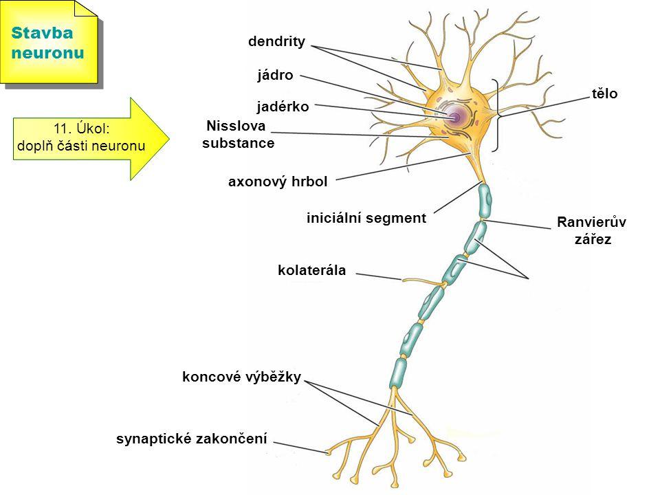 Stavba neuronu Stavba neuronu 11. Úkol: doplň části neuronu tělo jadérko jádro dendrity axonový hrbol iniciální segment Ranvierův zářez kolaterála kon