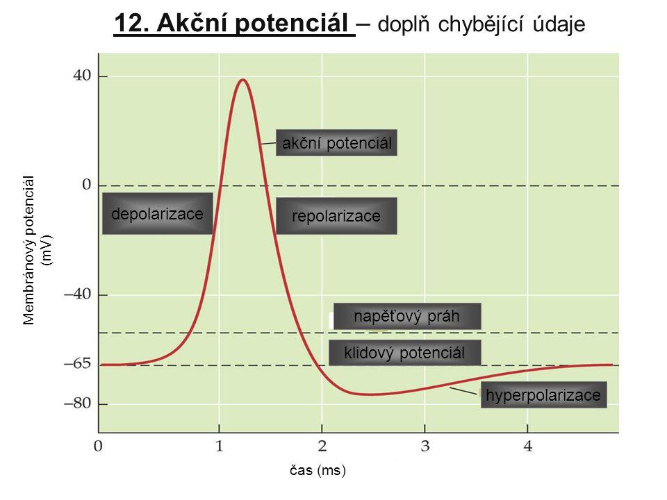 12. Akční potenciál – doplň chybějící údaje Membránový potenciál (mV) čas (ms) akční potenciál klidový potenciál napěťový práh hyperpolarizace repolar