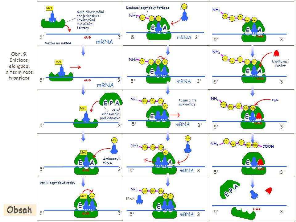 Obr. 9. Iniciace, elongace, a terminace translace Obsah EPA 5'3' aa AUG 5'3' mRNA Malá ribosomální podjednotka s navázanými iniciačními faktory AUG 3'