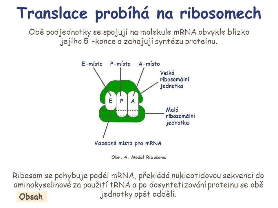 Ribosom se pohybuje podél mRNA, překládá nukleotidovou sekvenci do aminokyselinové za použití tRNA a po dosyntetizování proteinu se obě jednotky opět