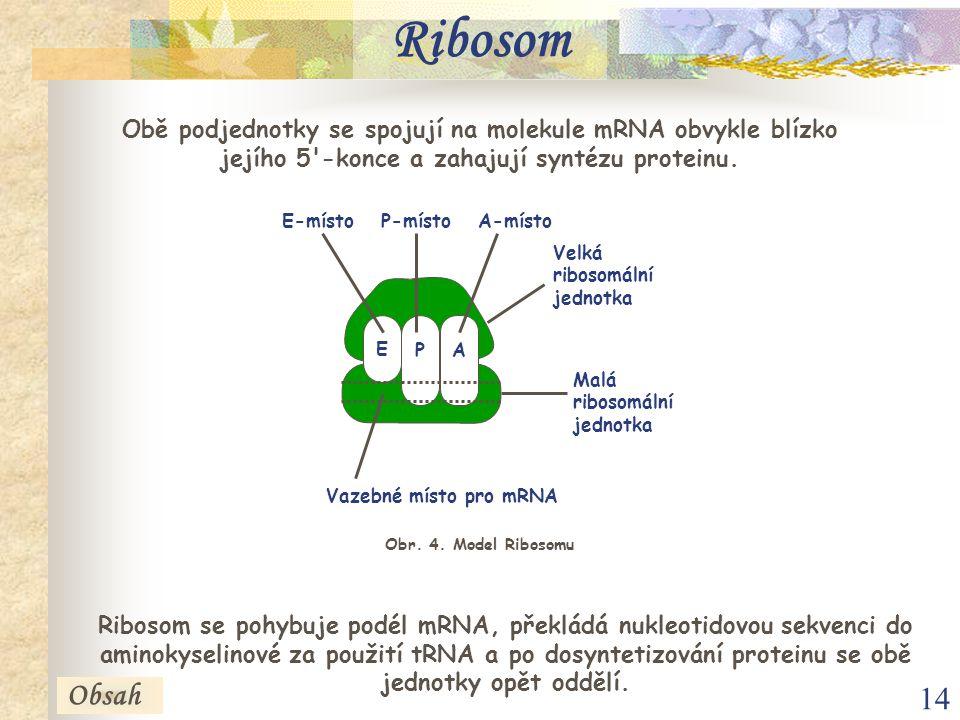 14 Ribosom Ribosom se pohybuje podél mRNA, překládá nukleotidovou sekvenci do aminokyselinové za použití tRNA a po dosyntetizování proteinu se obě jednotky opět oddělí.