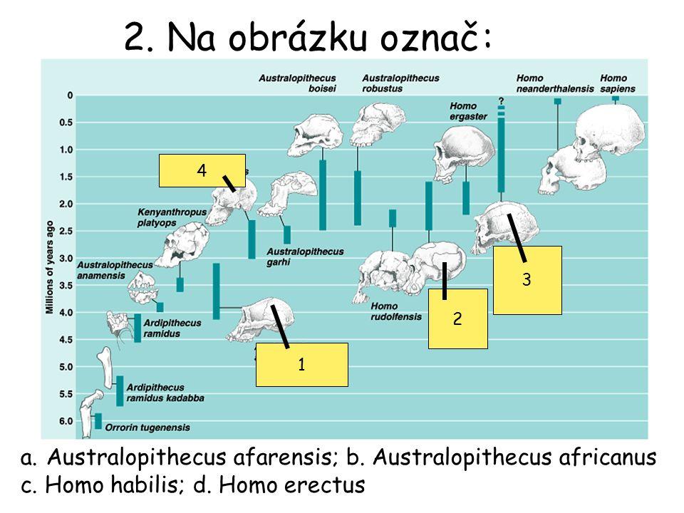 2. Na obrázku označ: a.Australopithecus afarensis; b. Australopithecus africanus c. Homo habilis; d. Homo erectus 1 2 3 4