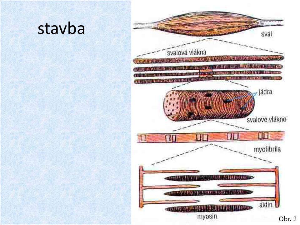 hladké svaly jednojaderná vlákna neovladatelné vůlí činnost řídí vegetativní nervy stavba: – sarkoplazma – myofibrily Obr.
