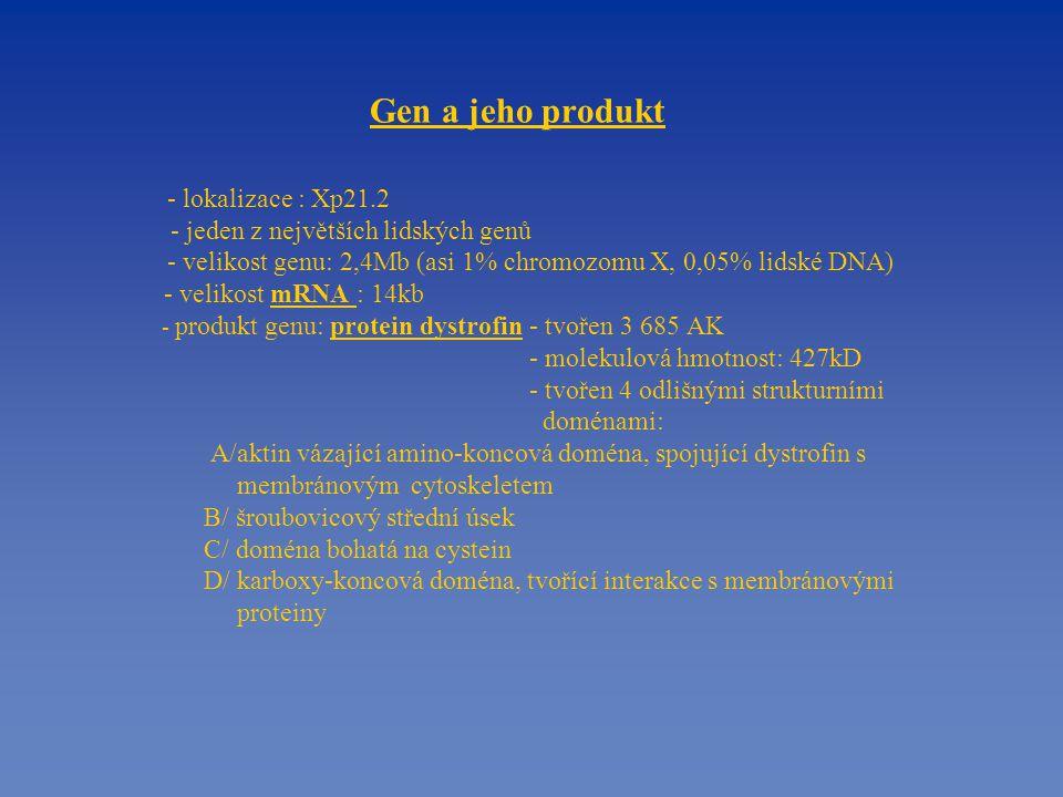 Gen a jeho produkt - lokalizace : Xp21.2 - jeden z největších lidských genů - velikost genu: 2,4Mb (asi 1% chromozomu X, 0,05% lidské DNA) - velikost mRNA : 14kb - produkt genu: protein dystrofin - tvořen 3 685 AK - molekulová hmotnost: 427kD - tvořen 4 odlišnými strukturními doménami: A/aktin vázající amino-koncová doména, spojující dystrofin s membránovým cytoskeletem B/ šroubovicový střední úsek C/ doména bohatá na cystein D/ karboxy-koncová doména, tvořící interakce s membránovými proteiny