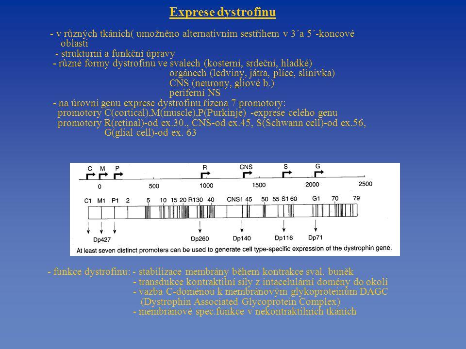 Exprese dystrofinu - v různých tkáních( umožněno alternativním sestřihem v 3´a 5´-koncové oblasti - strukturní a funkční úpravy - různé formy dystrofinu ve svalech (kosterní, srdeční, hladké) orgánech (ledviny, játra, plíce, slinivka) CNS (neurony, gliové b.) periferní NS - na úrovni genu exprese dystrofinu řízena 7 promotory: promotory C(cortical),M(muscle),P(Purkinje) -exprese celého genu promotory R(retinal)-od ex.30., CNS-od ex.45, S(Schwann cell)-od ex.56, G(glial cell)-od ex.