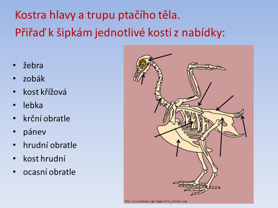 Kostra hlavy a trupu ptačího těla.
