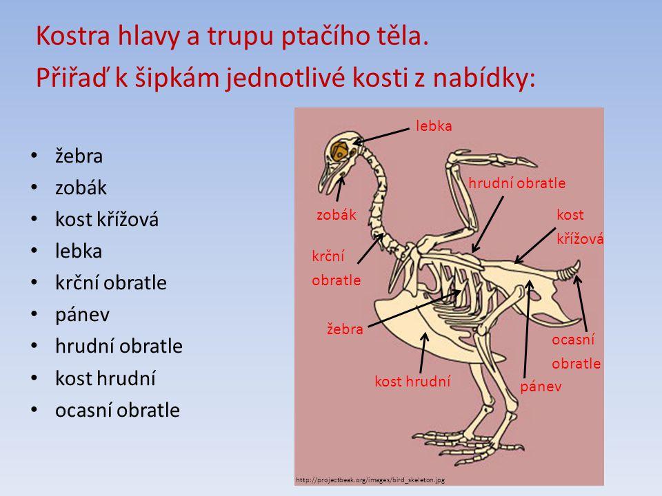 http://www.zoologie.frasma.cz/mmp%200308%20ptaci/ptaci%20zmensene/A41_zmensenina.jpg kost loketní kosti záprstní kost pažní klíční kost články prstů lopatka kost vřetenní kosti zápěstní Porovnání lidské horní končetiny s ptačím křídlem.