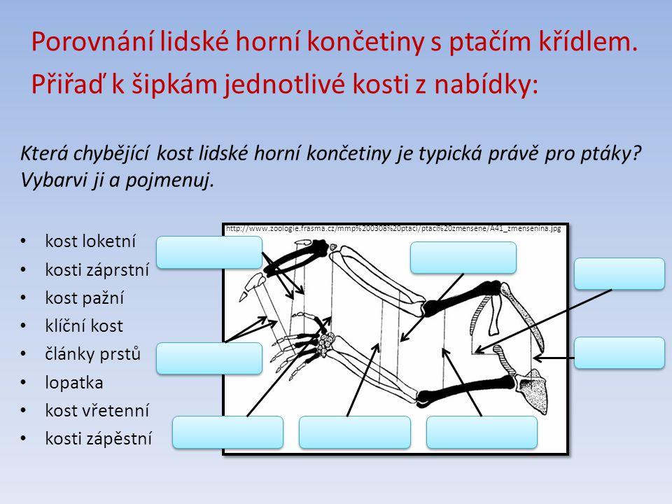 http://www.zoologie.frasma.cz/mmp%200308%20ptaci/ptaci%20zmensene/A41_zmensenina.jpg lopatka klíční kost kost pažní kost vřetenní kost loketní kosti záprstní články prstů kosti zápěstní kost loketní kosti záprstní kost pažní klíční kost články prstů lopatka kost vřetenní kosti zápěstní Porovnání lidské horní končetiny s ptačím křídlem.