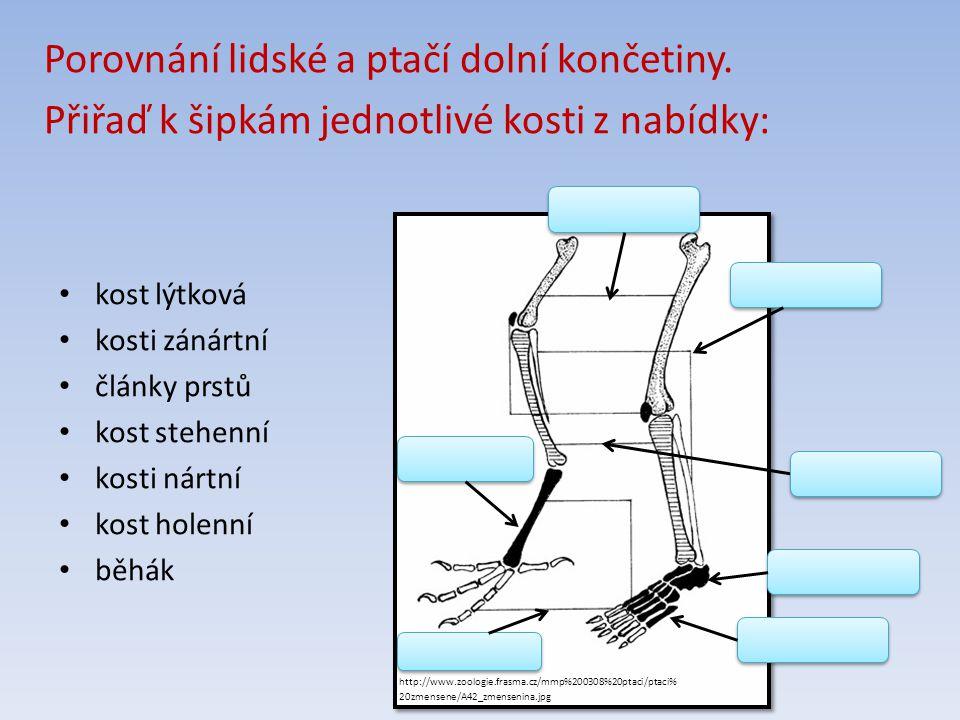http://www.zoologie.frasma.cz/mmp%200308%20ptaci/ptaci% 20zmensene/A42_zmensenina.jpg Porovnání lidské a ptačí dolní končetiny.