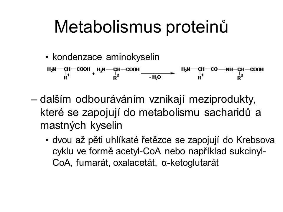 Metabolismus proteinů podle konečných produktů odbourávání dělíme aminokyseliny: –glukogenní → prekurzory pro syntézu sacharidů (pyruvát, oxalacetát,...) –ketogenní → fragmenty, z nichž se syntetizují mastné kyseliny –některé mohou patřit do obou skupin