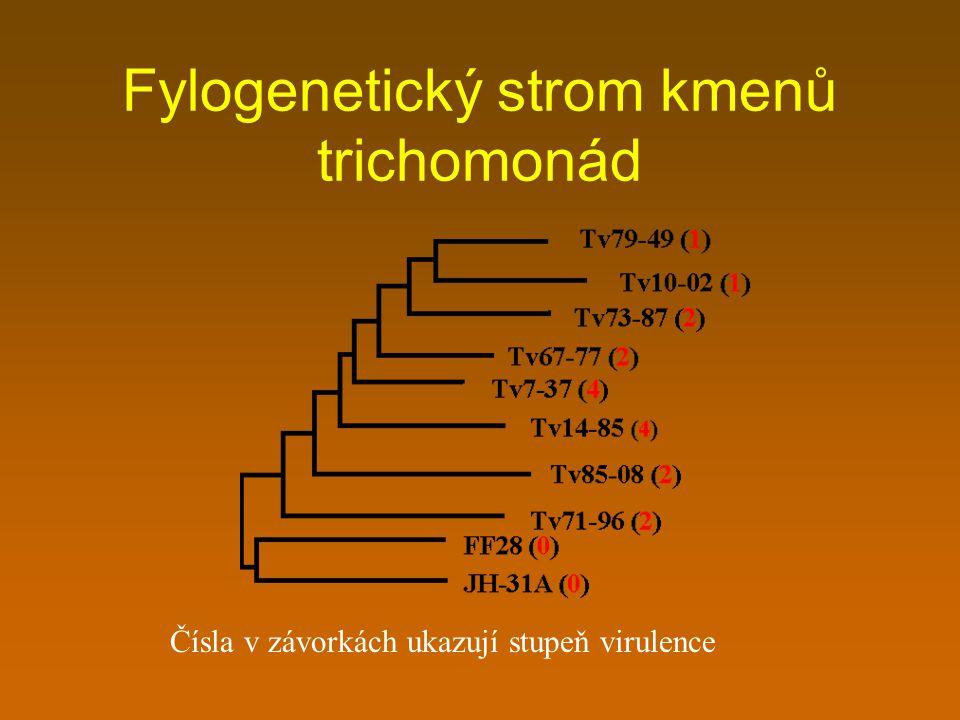 Fylogenetický strom kmenů trichomonád Čísla v závorkách ukazují stupeň virulence