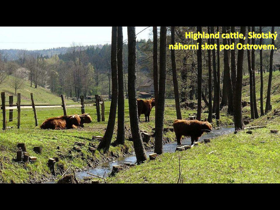 Highland cattle, Skotský náhorní skot pod Ostrovem.