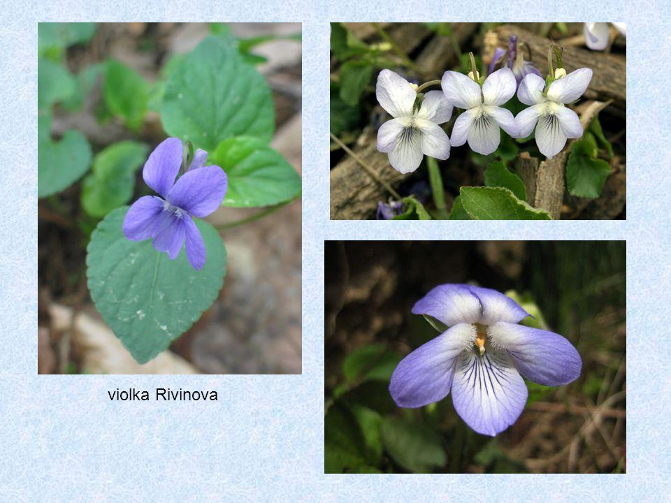 violka Rivinova