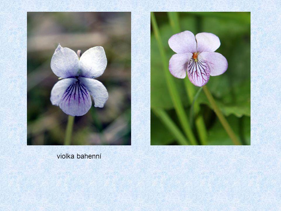 violka bahenní