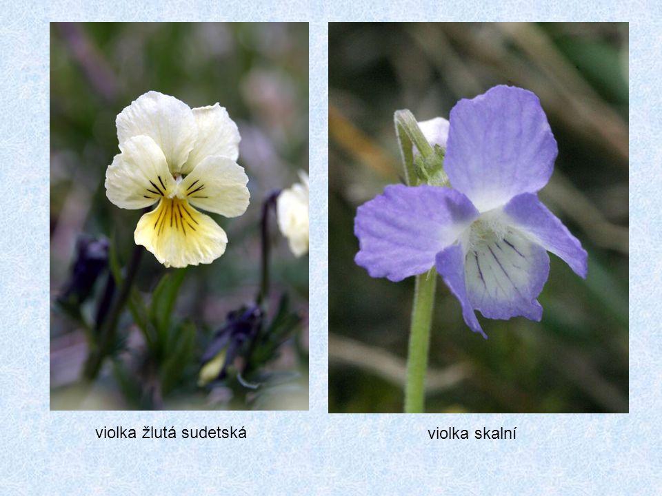 violka skalní violka žlutá sudetská
