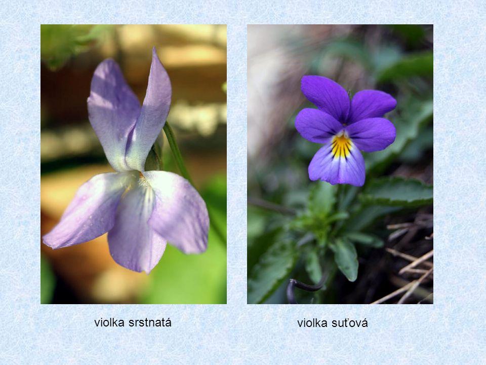 violka suťová violka srstnatá