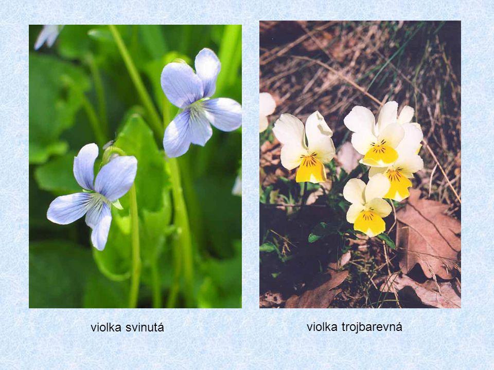 violka trojbarevná violka svinutá