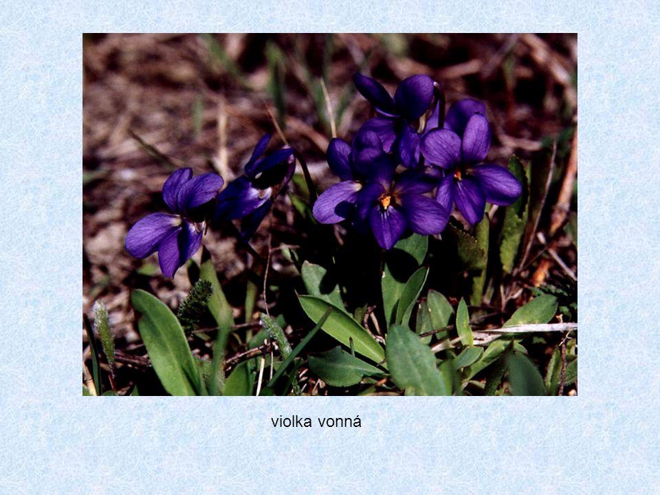 violka vábná