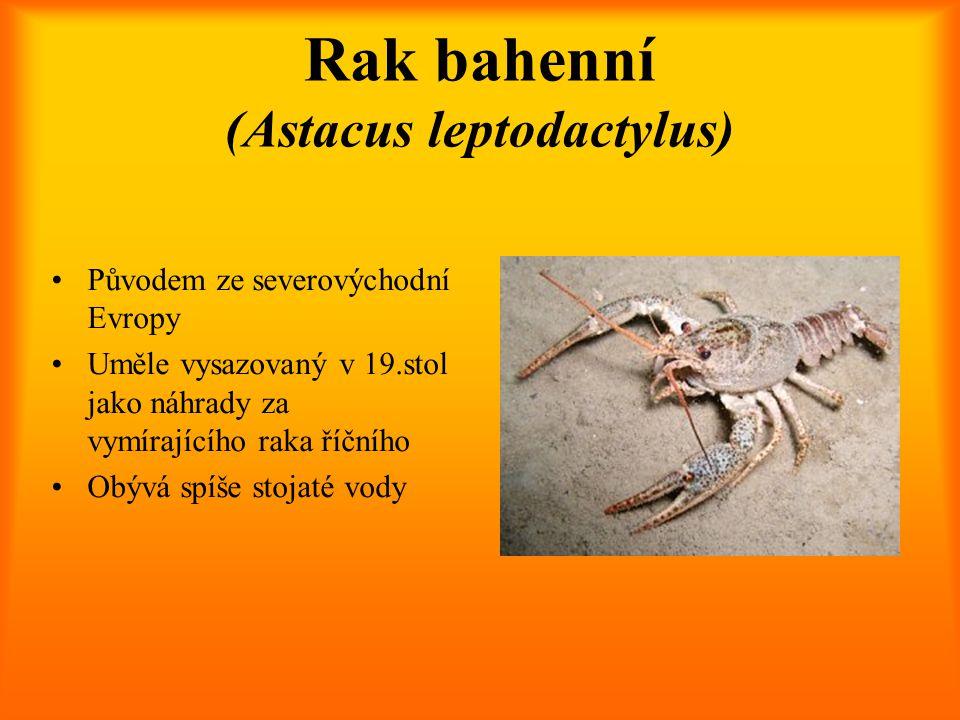 Rak bahenní (Astacus leptodactylus) Původem ze severovýchodní Evropy Uměle vysazovaný v 19.stol jako náhrady za vymírajícího raka říčního Obývá spíše