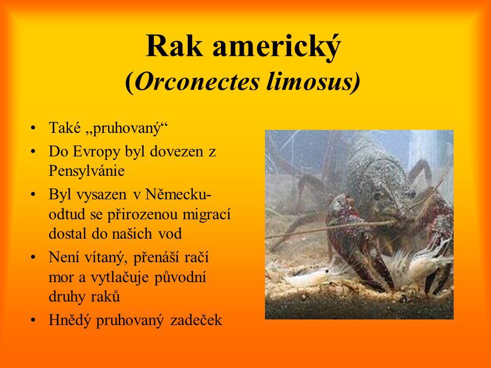 """Rak americký (Orconectes limosus) Také """"pruhovaný"""" Do Evropy byl dovezen z Pensylvánie Byl vysazen v Německu- odtud se přirozenou migrací dostal do na"""