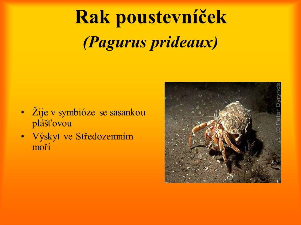 Rak poustevníček (Pagurus prideaux) Žije v symbióze se sasankou plášťovou Výskyt ve Středozemním moři