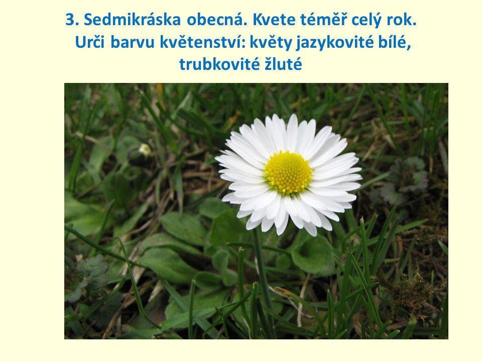 3. Sedmikráska obecná. Kvete téměř celý rok. Urči barvu květenství: květy jazykovité bílé, trubkovité žluté