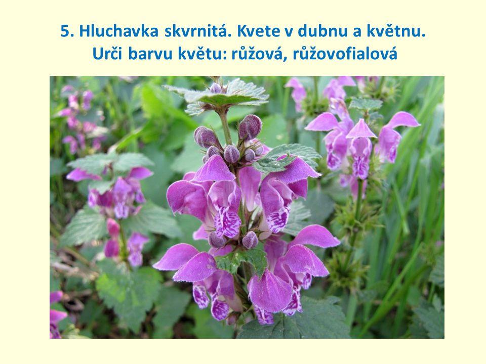 5. Hluchavka skvrnitá. Kvete v dubnu a květnu. Urči barvu květu: růžová, růžovofialová