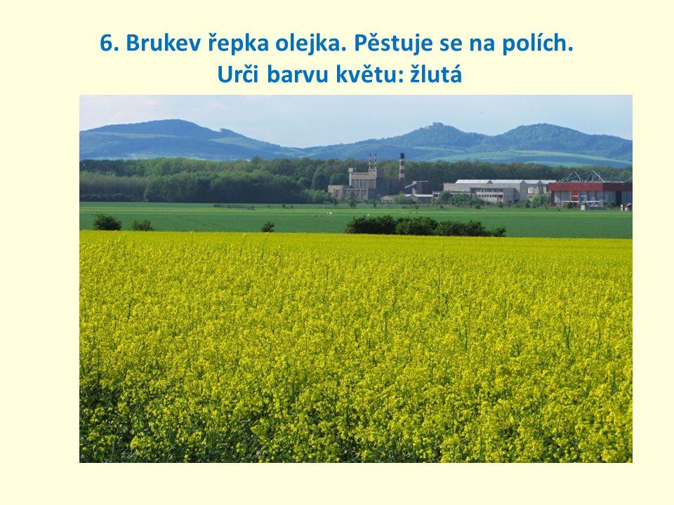 6. Brukev řepka olejka. Pěstuje se na polích. Urči barvu květu: žlutá