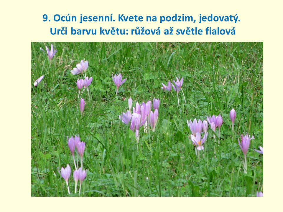 9. Ocún jesenní. Kvete na podzim, jedovatý. Urči barvu květu: růžová až světle fialová