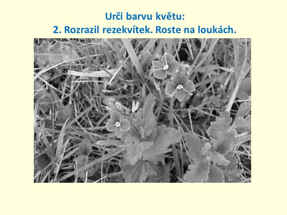 Urči barvu květu: 2. Rozrazil rezekvítek. Roste na loukách.