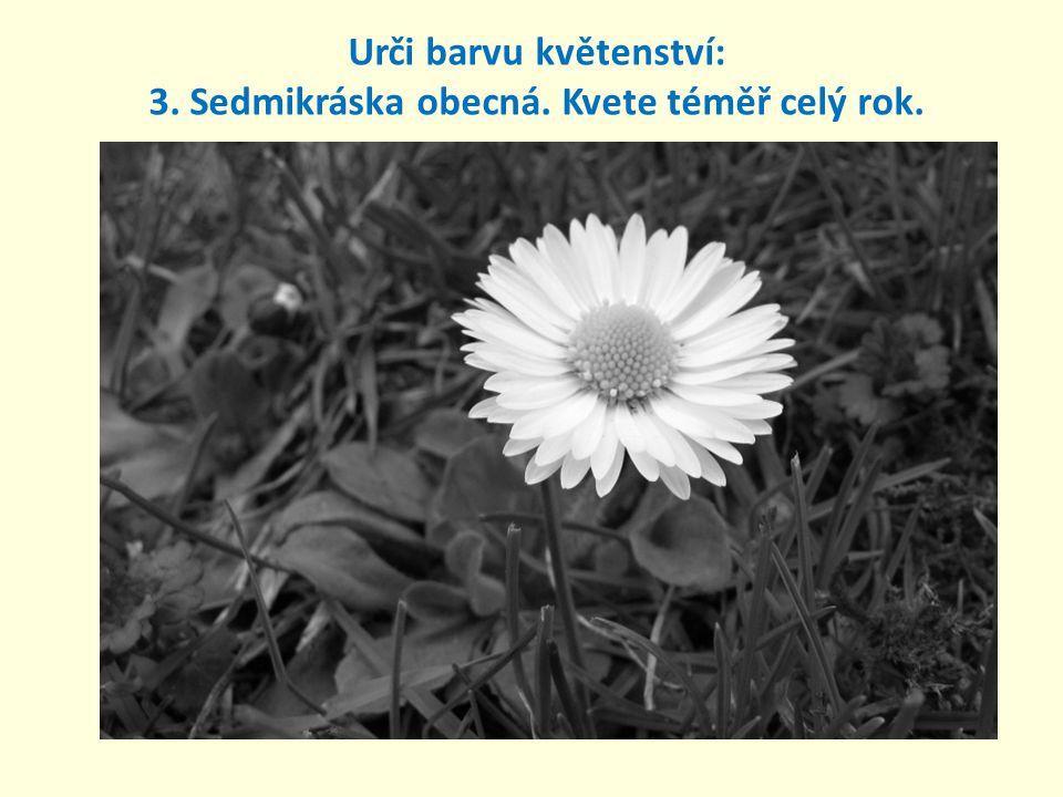 3.Sedmikráska obecná. Kvete téměř celý rok.