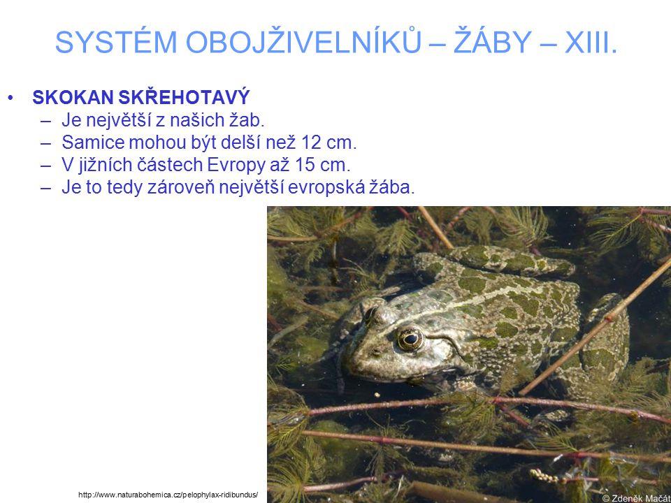 SYSTÉM OBOJŽIVELNÍKŮ – ŽÁBY – XIII. SKOKAN SKŘEHOTAVÝ –Je největší z našich žab. –Samice mohou být delší než 12 cm. –V jižních částech Evropy až 15 cm
