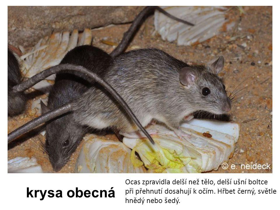 krysa obecná Ocas zpravidla delší než tělo, delší ušní boltce při přehnutí dosahují k očím. Hřbet černý, světle hnědý nebo šedý.