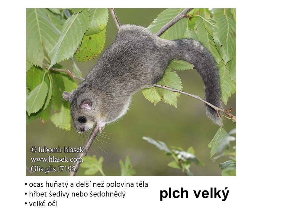 plch velký ocas huňatý a delší než polovina těla hřbet šedivý nebo šedohnědý velké oči