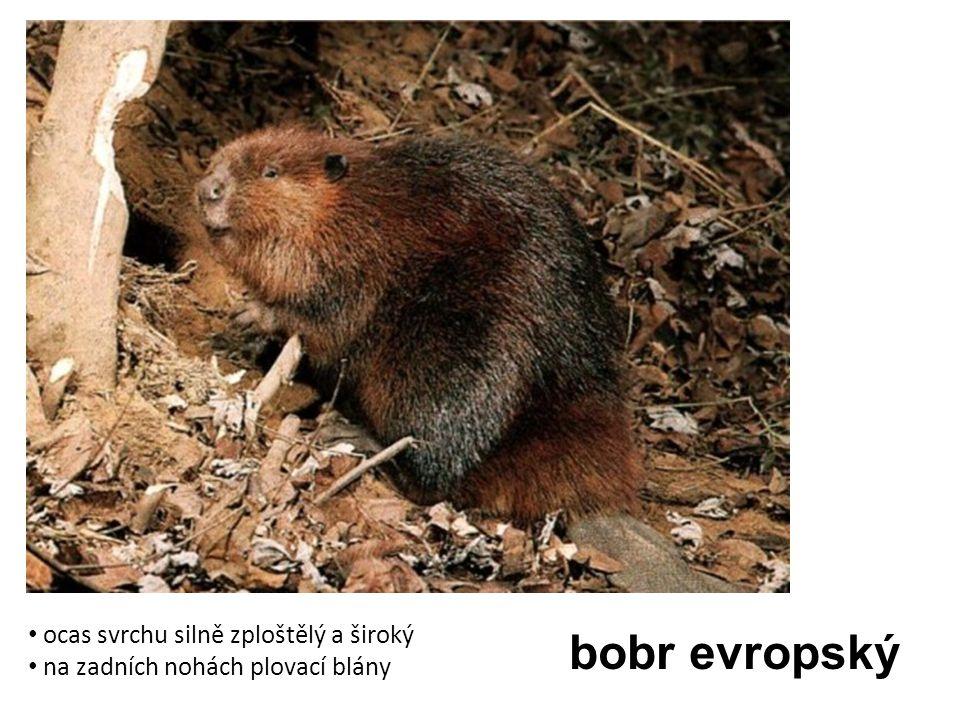 bobr evropský ocas svrchu silně zploštělý a široký na zadních nohách plovací blány