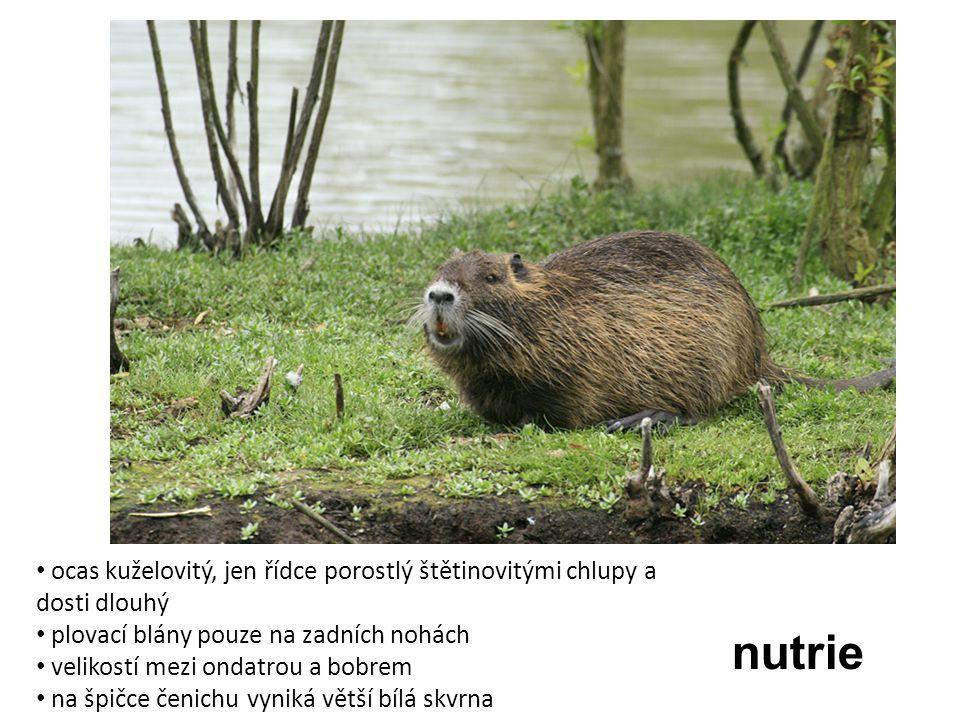nutrie ocas kuželovitý, jen řídce porostlý štětinovitými chlupy a dosti dlouhý plovací blány pouze na zadních nohách velikostí mezi ondatrou a bobrem
