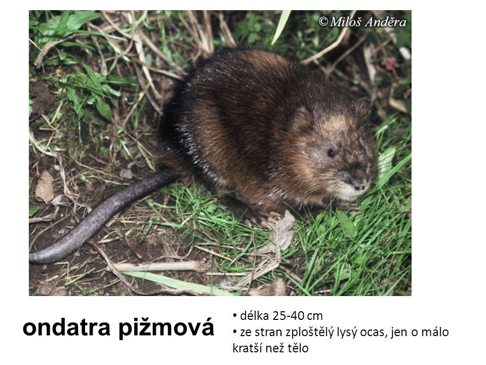 ondatra pižmová délka 25-40 cm ze stran zploštělý lysý ocas, jen o málo kratší než tělo
