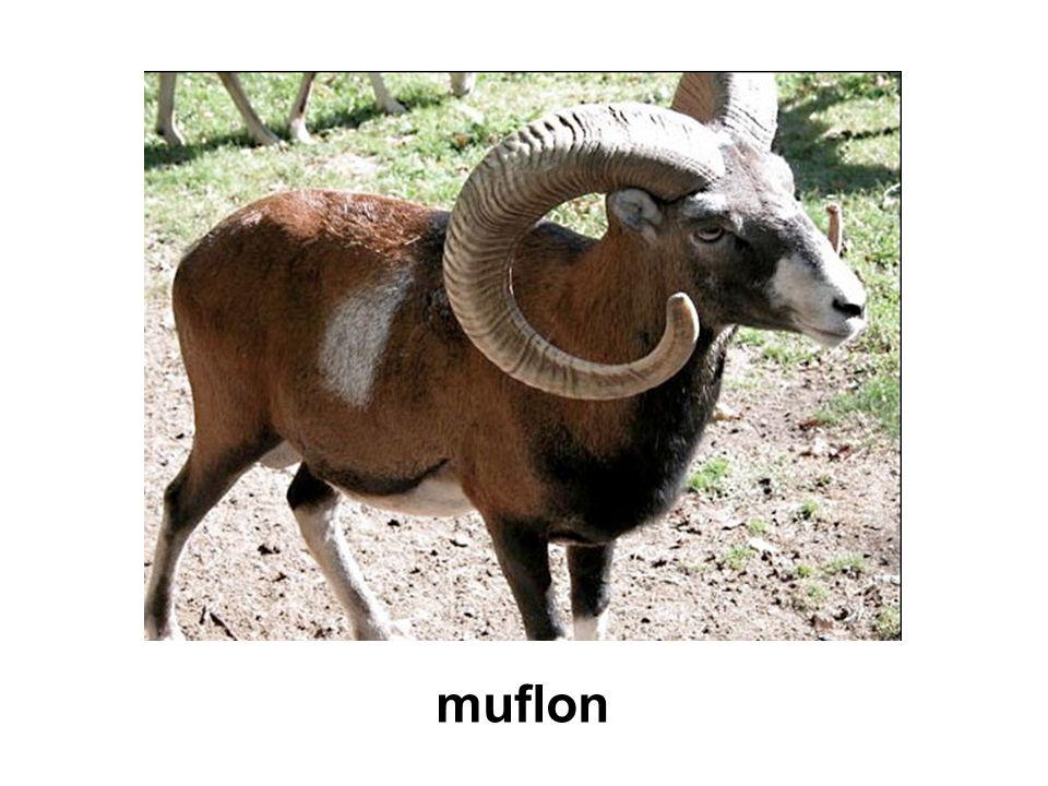 muflon