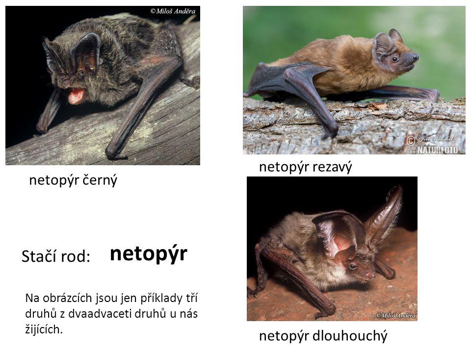 netopýr černý netopýr rezavý netopýr dlouhouchý Stačí rod: netopýr Na obrázcích jsou jen příklady tří druhů z dvaadvaceti druhů u nás žijících.
