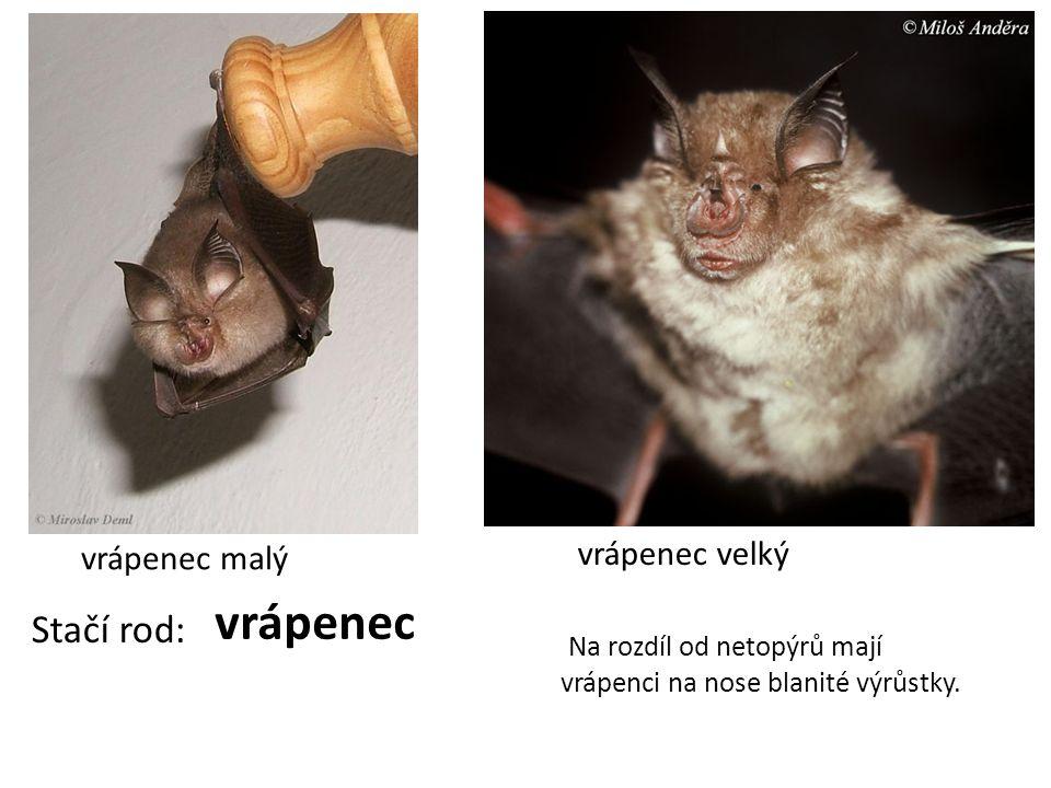 vrápenec malý vrápenec velký Stačí rod: vrápenec Na rozdíl od netopýrů mají vrápenci na nose blanité výrůstky.