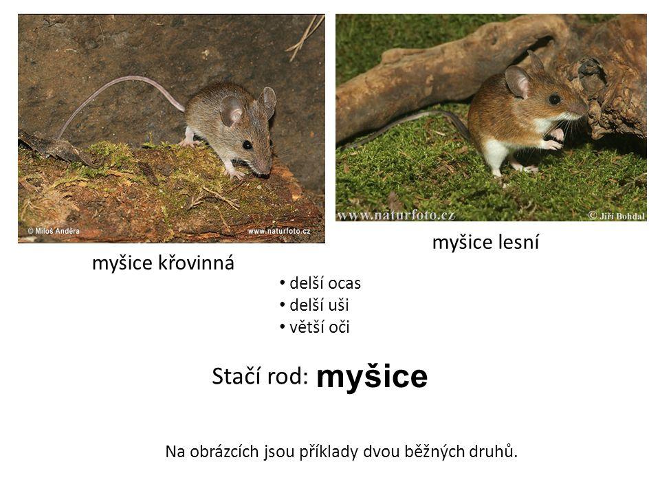 myšice myšice křovinná myšice lesní Stačí rod: Na obrázcích jsou příklady dvou běžných druhů. delší ocas delší uši větší oči