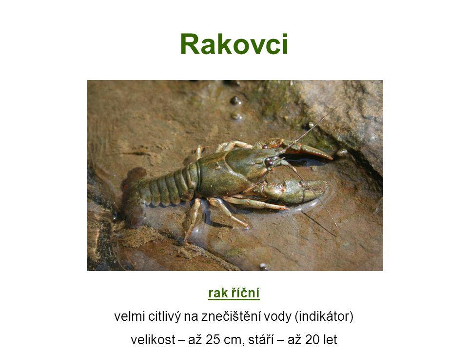 Rak říční CHRÁNĚNÝ pouze v čistých vodách, ukrývá se pod kameny či kořeny stromů potrava – larvy hmyzu, měkkýši tělo – zadeček a hlavohruď hlavohruď – 2 páry tykadel (delší - hmat,kratší - čich) - 5 párů kráčivých končetin (1.