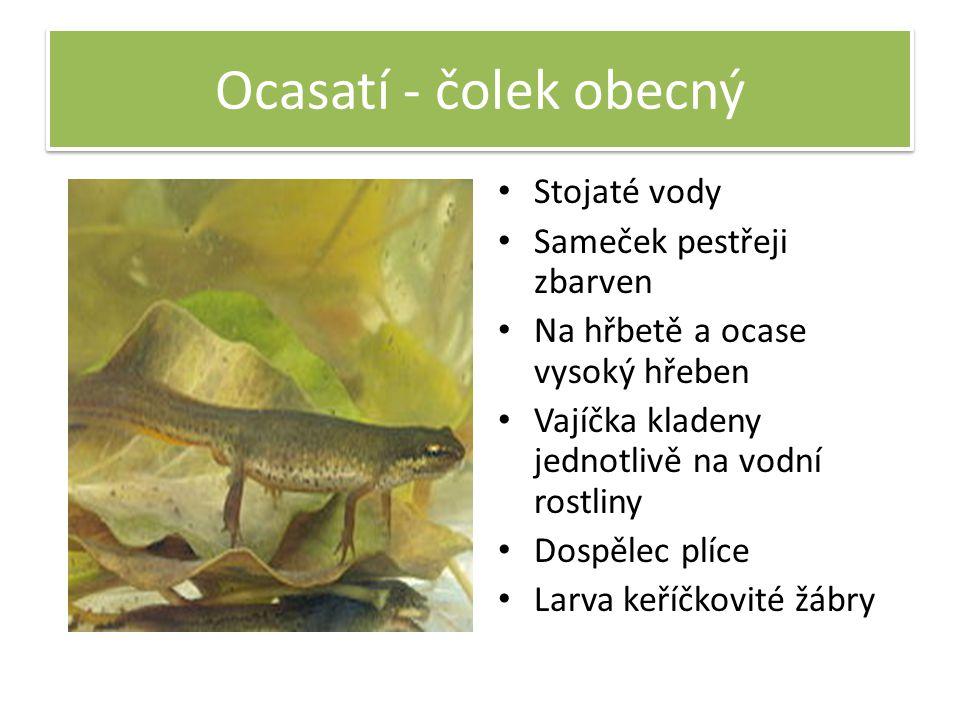 Ocasatí - čolek obecný Stojaté vody Sameček pestřeji zbarven Na hřbetě a ocase vysoký hřeben Vajíčka kladeny jednotlivě na vodní rostliny Dospělec plí