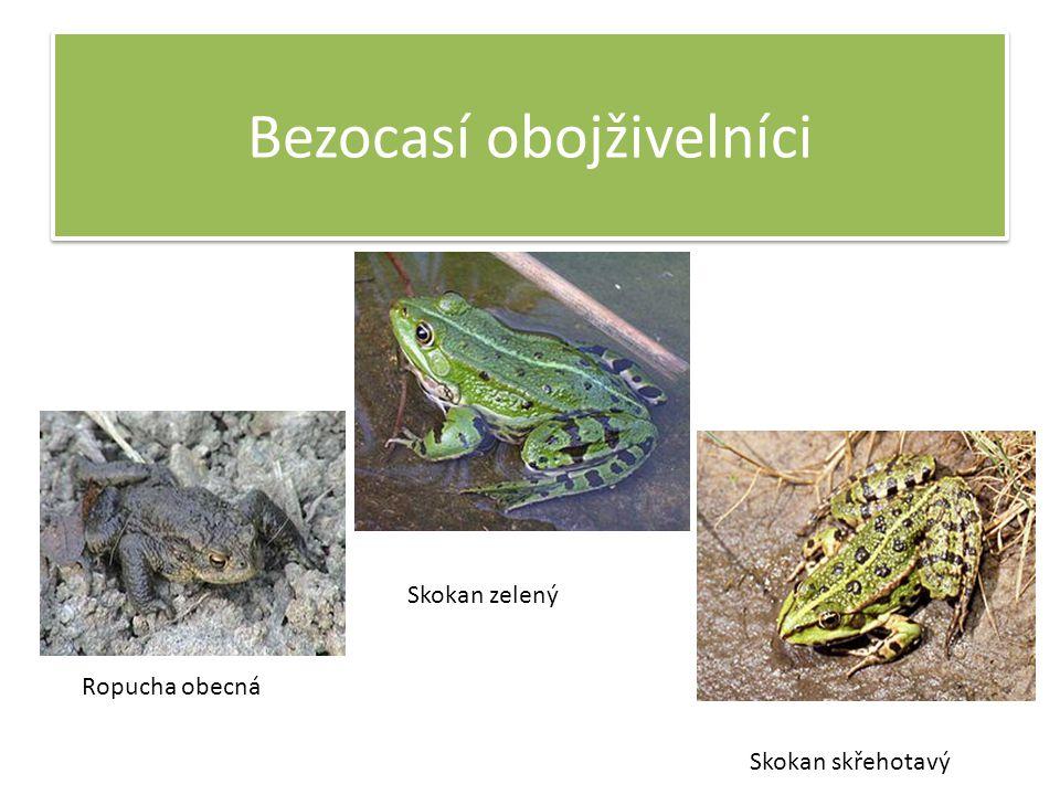 Bezocasí obojživelníci Ropucha obecná Skokan zelený Skokan skřehotavý